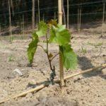 Плохо растет виноград что делать