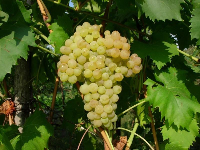 Сорт светлого винограда Кишмиш 342