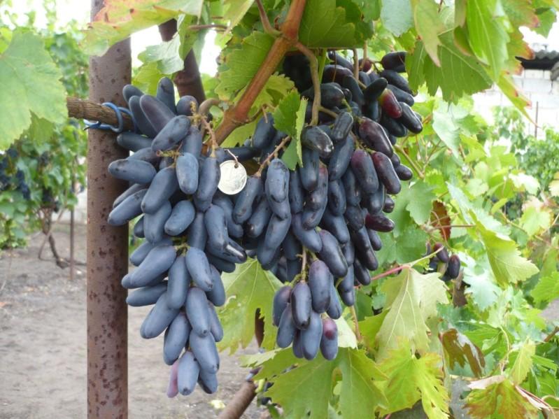 Столовый, винный сорт винограда Кодрянка с ягодами продолговатой формы