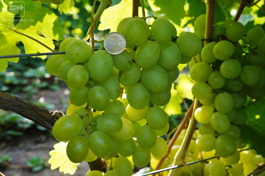 Виноград Кеша - вкусный гибрид Восторга и Фрумоаса Албэ
