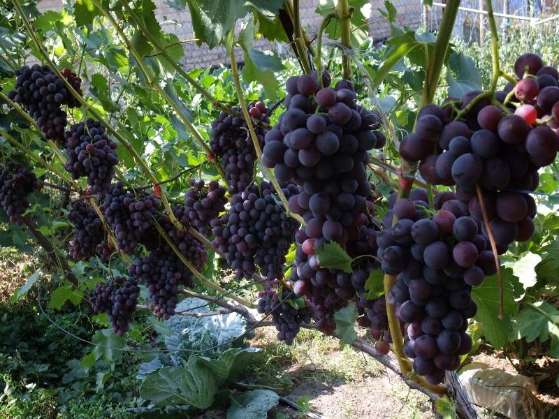 Виноград Кодрянка - отличительные признаки кустов