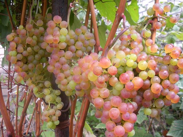 Виноград Коринка русская - агротехнические показатели растения