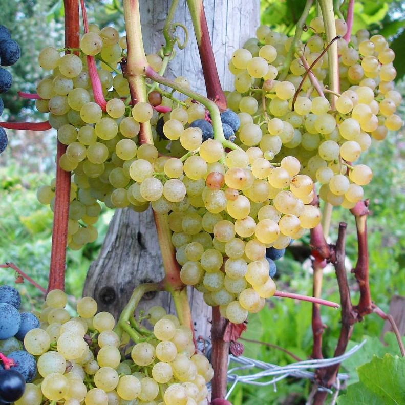 Виноград Коринка русская - что нужно знать начинающему дачнику