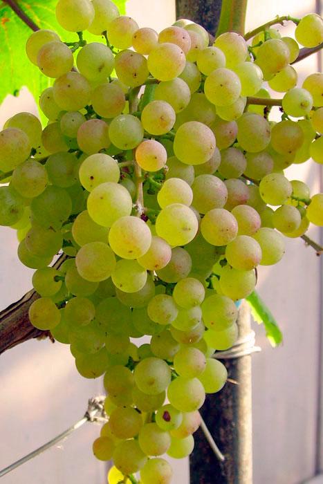 Виноград Коринка русская - сортовая характеристика культуры