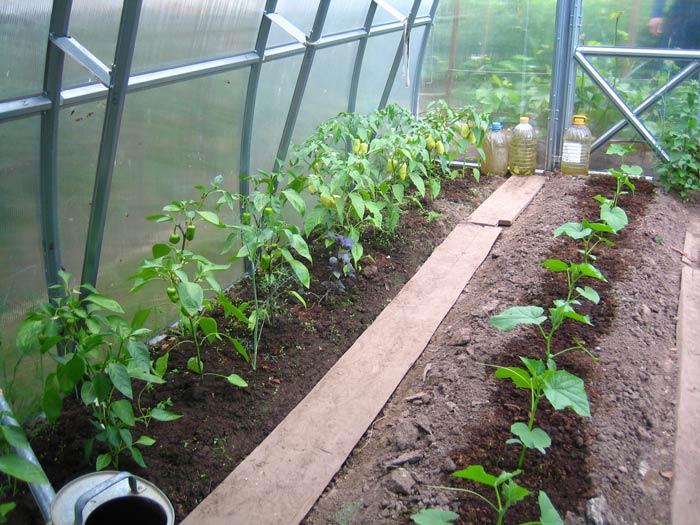 Выращивание перца в неотапливаемой теплице из прозрачного поликарбоната