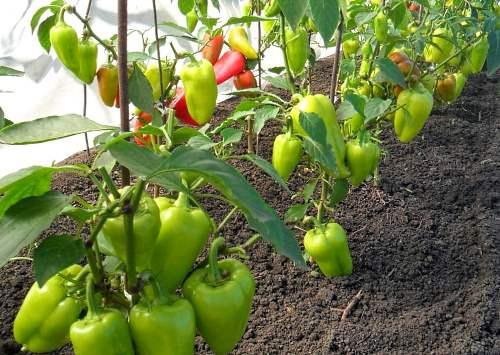 Выращивание перца в теплице из поликарбоната - как получить максимальный урожай
