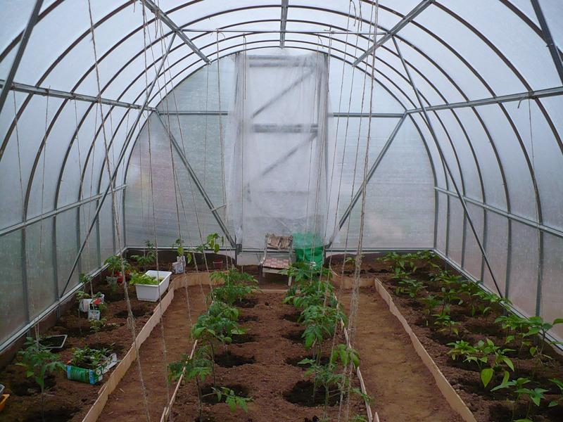 Выращивание перца в теплице из поликарбоната - какие растения можно посадить по соседству