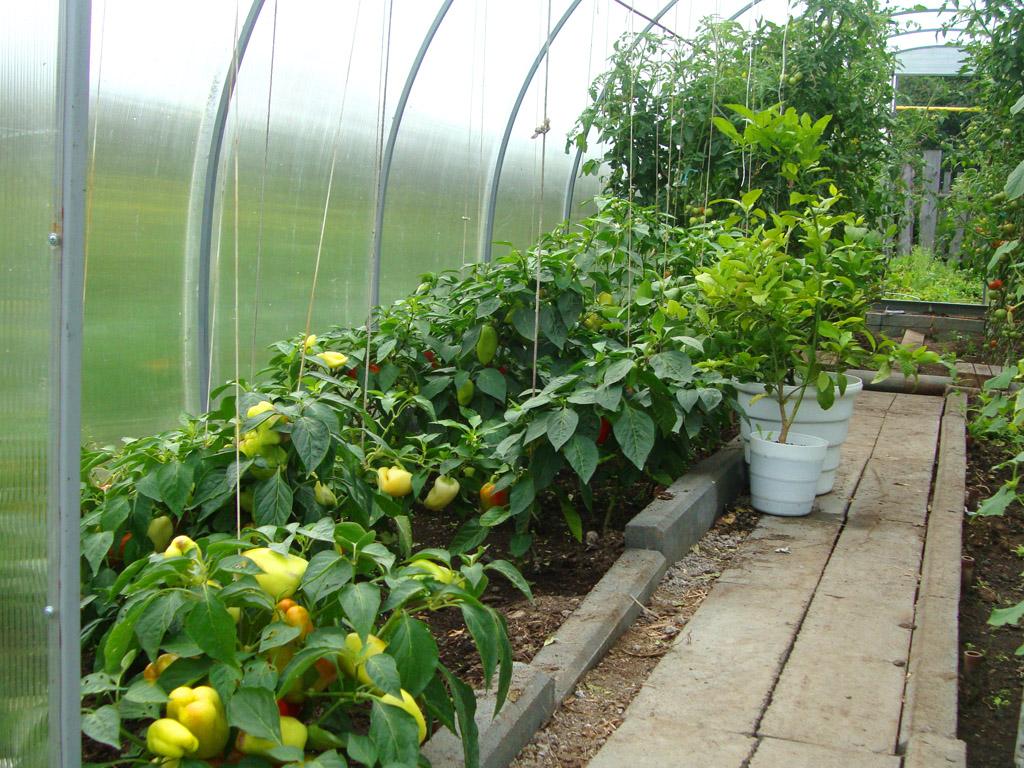 Выращивание перца в теплице из поликарбоната - основные правила