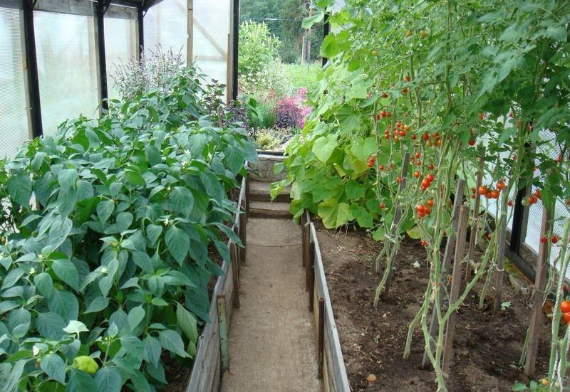 Выращивание перца в теплице из поликарбоната - секреты опытных дачников