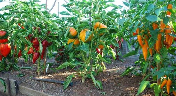 Выращивание перца в теплице из поликарбоната - советы огороднику