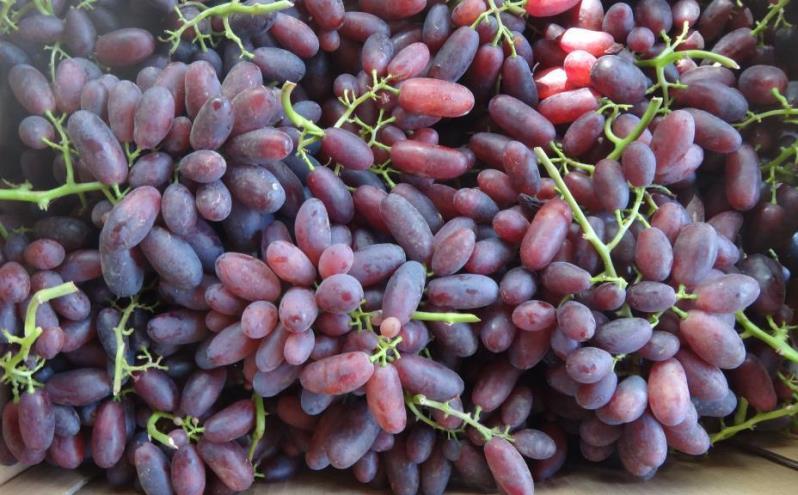 Высокий урожай винограда Изюминка