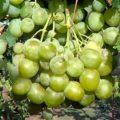 Высокоурожайный виноград Кеша вырощенный на даче