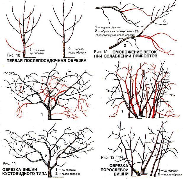 Как выполняется обрезка молодой вишни осенью
