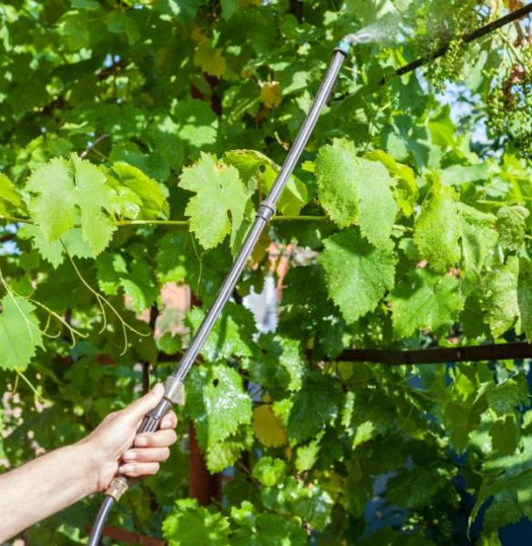 Обработка винограда коллоидной серой - как правильно выбрать время опрыскивания