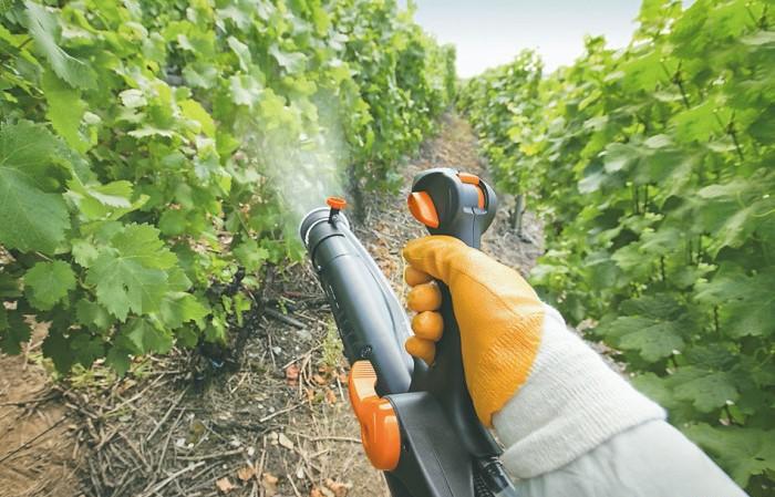 Обработка винограда коллоидной серой - меры предосторожности при работе с препаратом