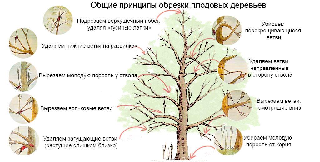Обрезка вишни осенью - общие правила обрезки плодовых деревьев