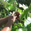 Подготовительные работы перед проведением чеканки винограда