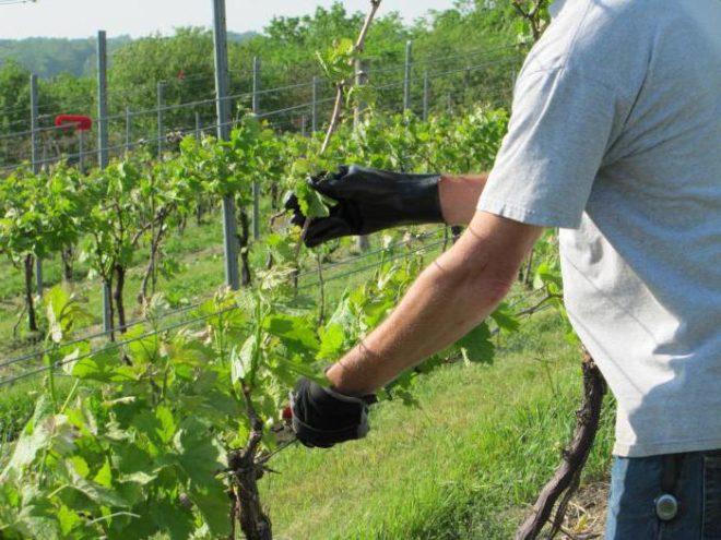 Правила чеканки (укорачивания побегов) винограда