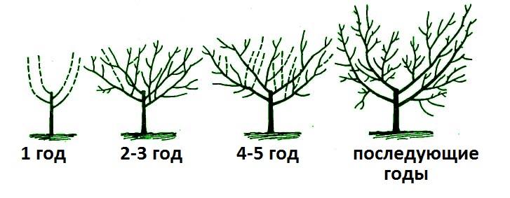 Схема обрезки вишни осенью по годам