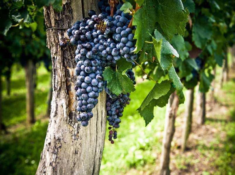 Сочная гроздь винограда сорта Мерло