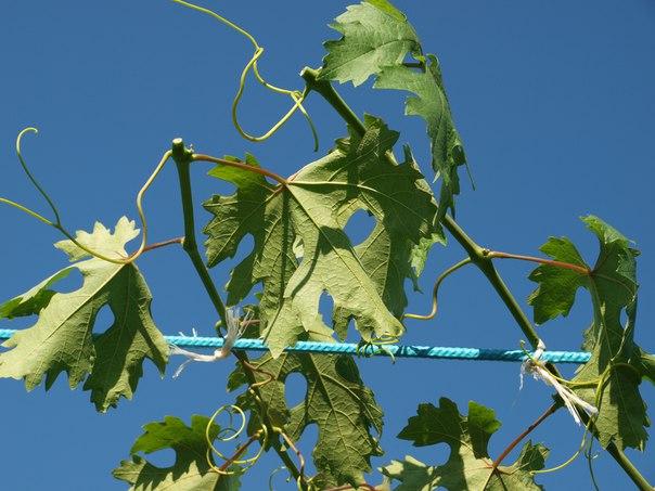 Верхушки виноградных лоз после проведения чеканки