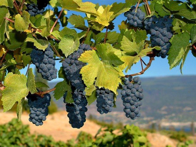 Виноград Мерло как культивировать технический сорт
