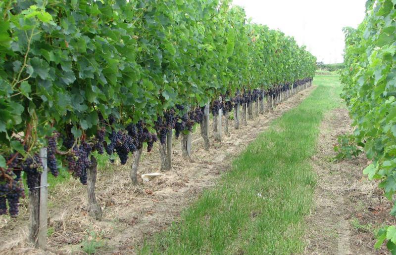 Виноград Мерло особенности ухода за культурой