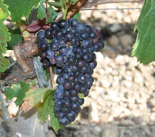 Виноград Мерло популярный винный сорт