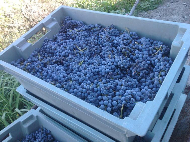 Виноград Мерло сбор, хранение и переработка урожая