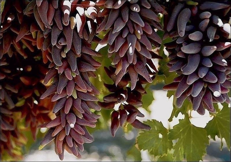 Виноград Ведьмины пальцы как правильно ухаживать за культурой
