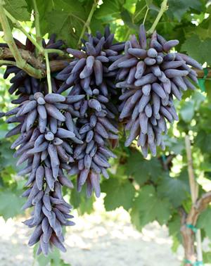 Виноград Ведьмины пальцы посадка и уход за растением