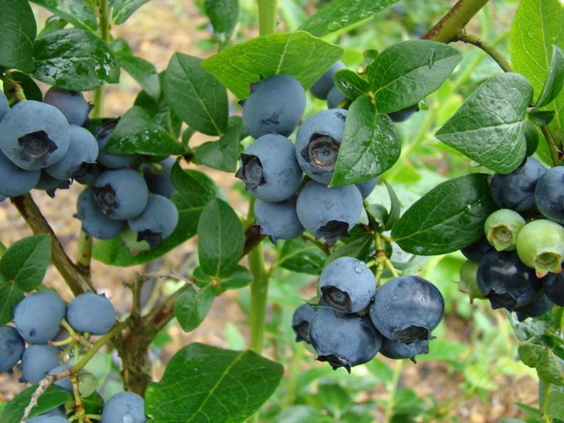 Голубика Садовая агротехника выращивания в своем саду