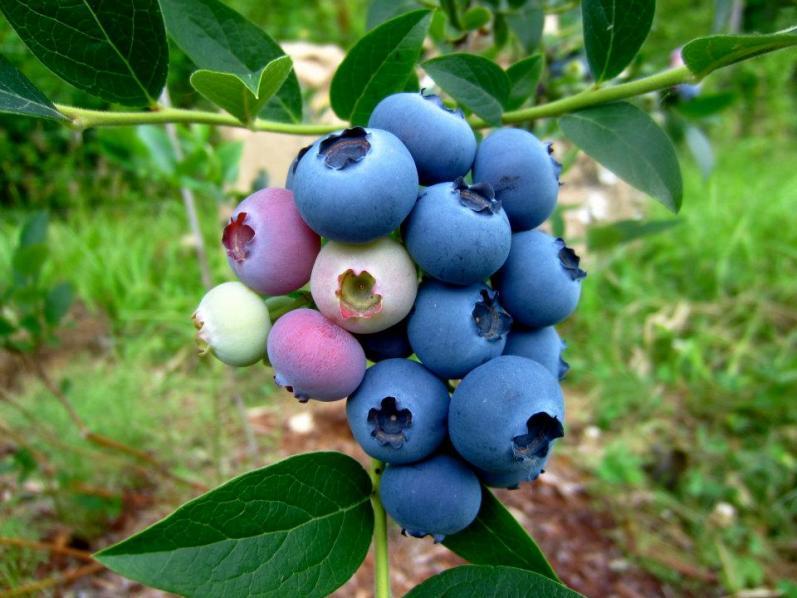 Голубика Садовая морозойстойчивый сорт Ковилл