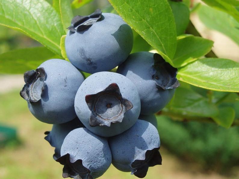 Голубика Садовая полезные свойства культуры