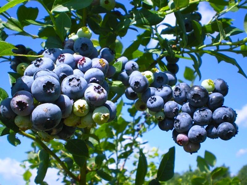 Голубика Садовая сорта Блюрей