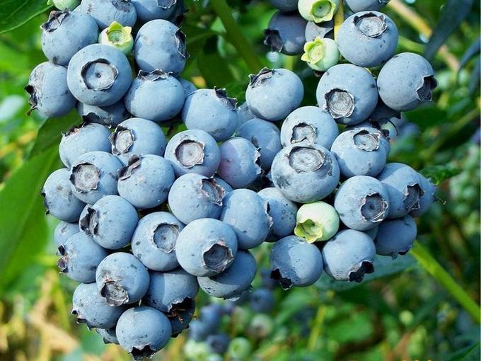 Голубика Садовая вкусная Герма