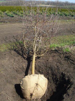 Пересадка вишни на новое место осенью - когда можно пересаживать вишню