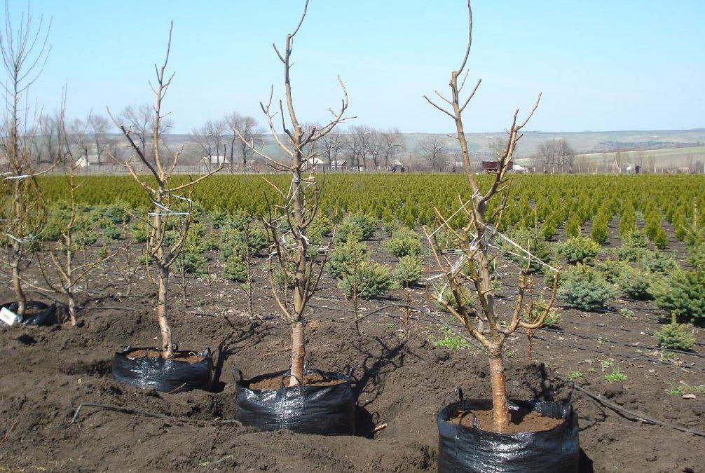 Пересадка вишни на новое место осенью - советы специалистов