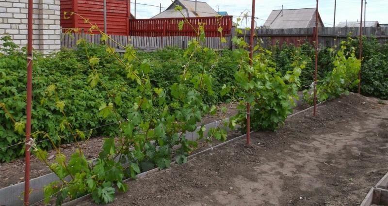 Почему не плодоносит молодой куст винограда