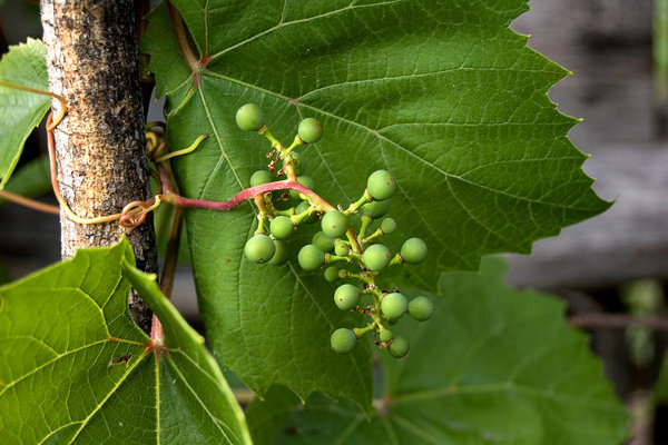 Почему не плодоносит виноград - измельчение ягод