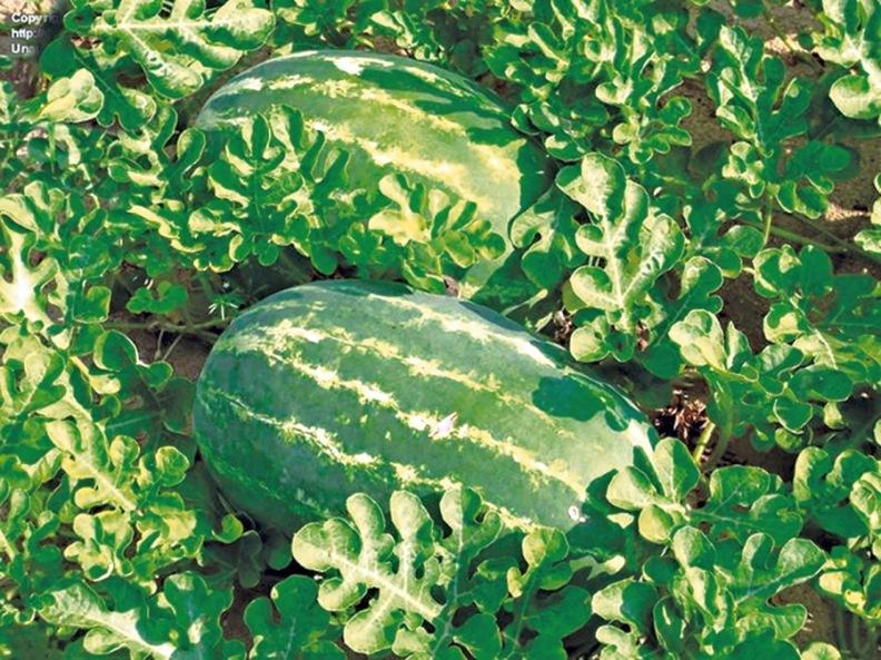 Сорта арбузов - Стойкий к засухе Волжанин