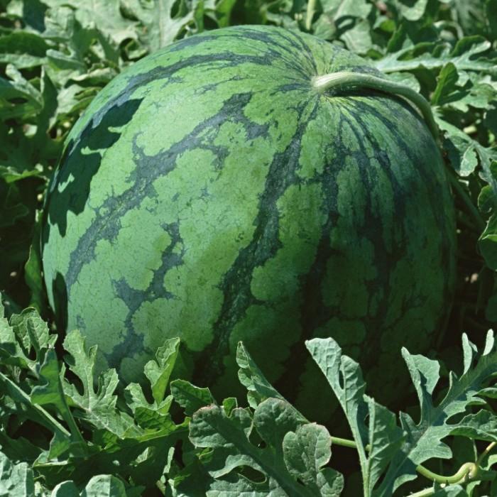 Сорта арбузов - Высокоурожайный Скорик