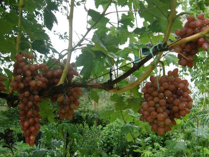 Виноград кишмиш лучистый - преимущества выращивания сорта в своем саду