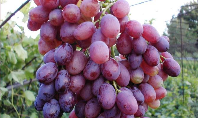 Виноград кишмиш лучистый - ранняя бессемянная культура