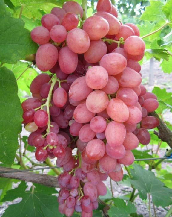 Виноград кишмиш лучистый - советы по уходу за растением
