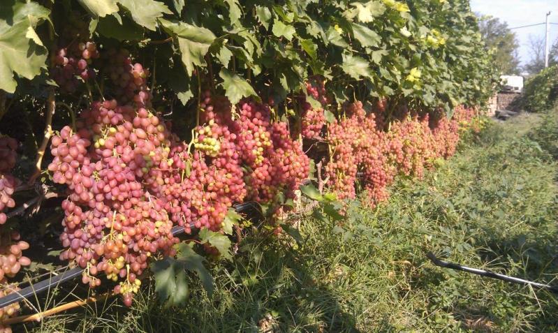 Виноград кишмиш лучистый - высокоурожайный вкусный сорт