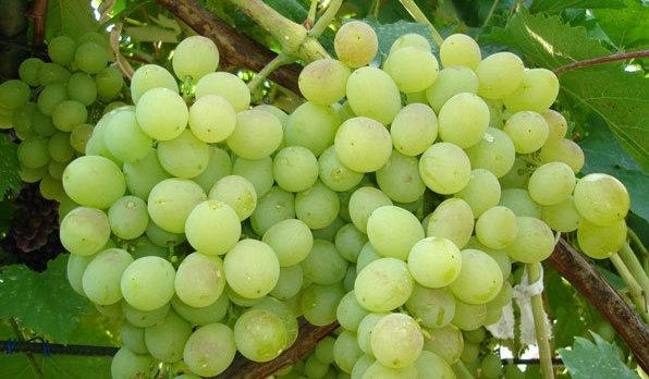 Белый виноград сорта Восторг