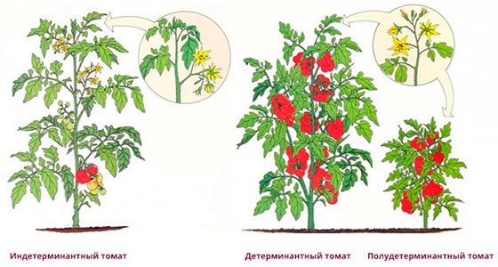 Что такое детерминантный сорт помидор