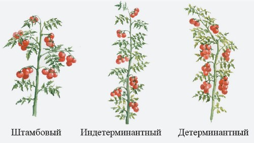 Детерминантный сорт помидор как отличить от штамбового и индетерминантного видов