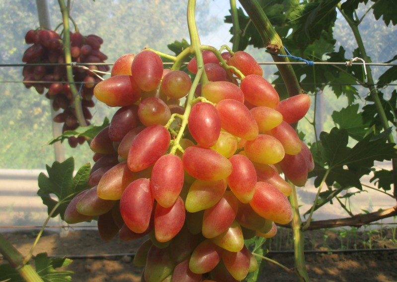 Как культивировать виноград Дубовский розовый в своем саду